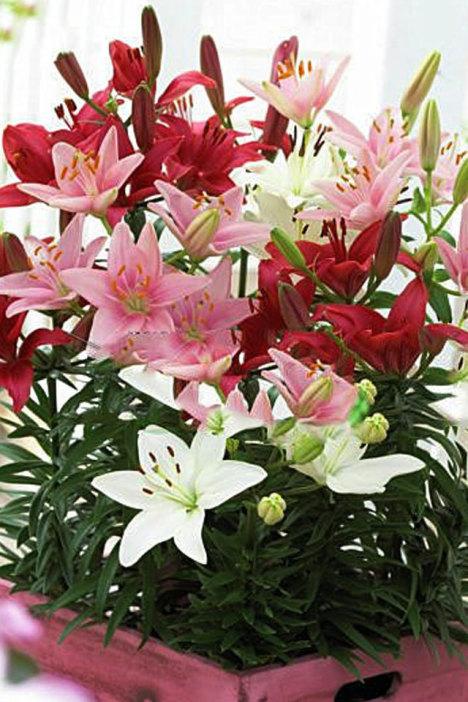 百合花,盆栽,绿植,盆景,花球,花苗,植物